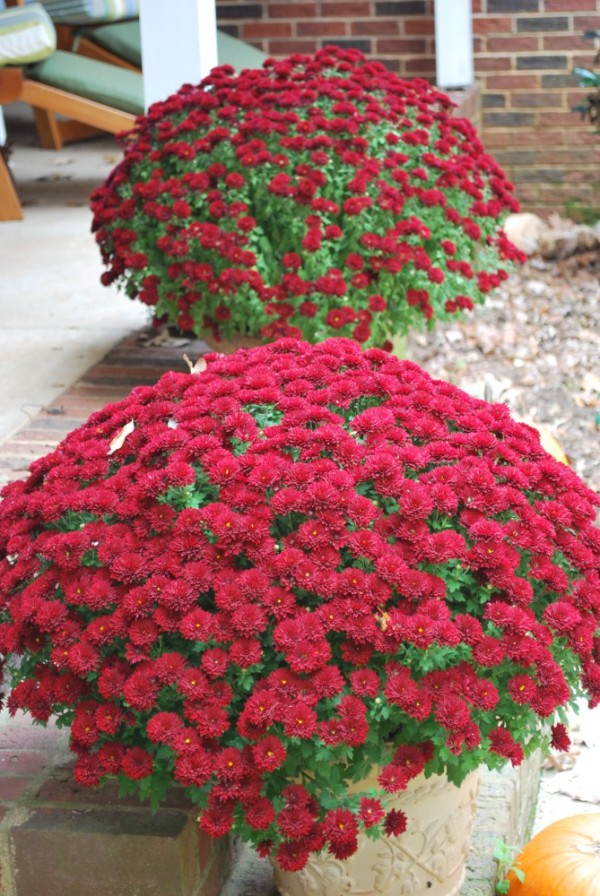 Magnificent Mums