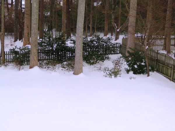 Nearly four days after the snowfall, our yard still looks like this. March 1, 2015, Yorktown Virginia