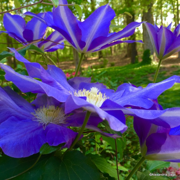 Jubilant Spring 1-IMG_5807